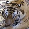 Tiger spielen!